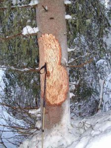 The woods tells us a story: bark of a spruce eaten by the deers