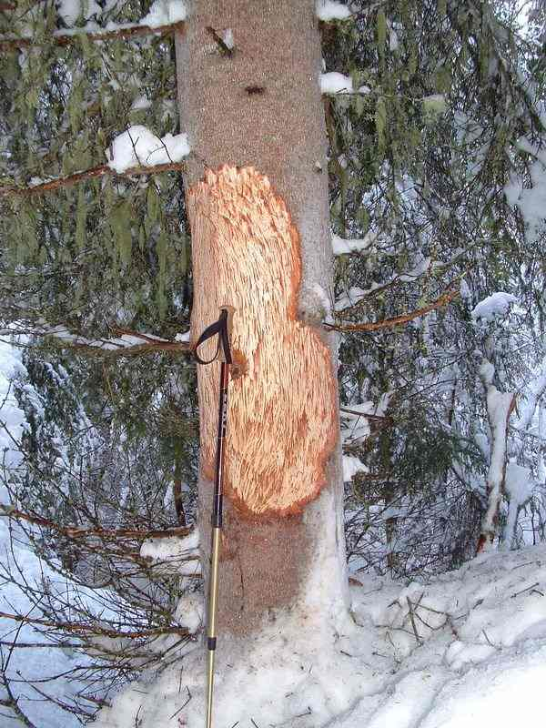 Bark of a spruce eated by red deers.