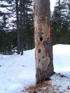 The woods tells us a story: woodpecker holes in a spruce