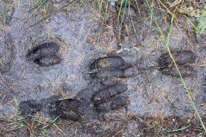 il bosco ci racconta una storia: impronte di cervi