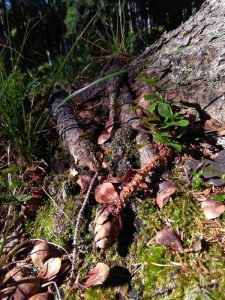 The woods tells us a story: conepine gnarled by a squirrel