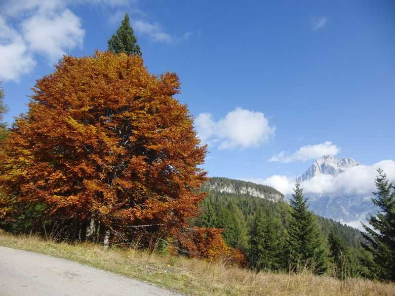 Beech in autumn in San Vito di Cadore.