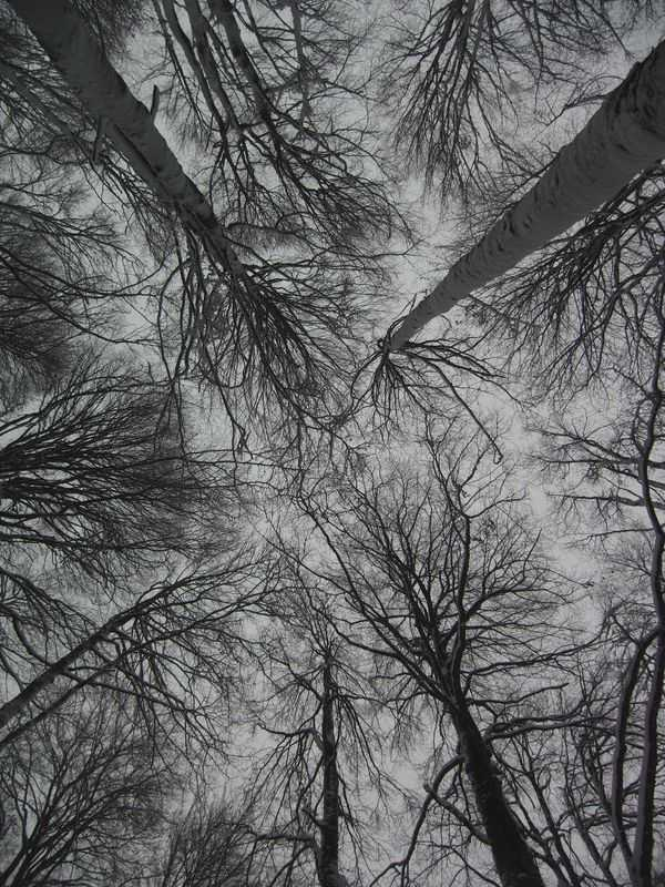 Sky pillars: beeches in winter.
