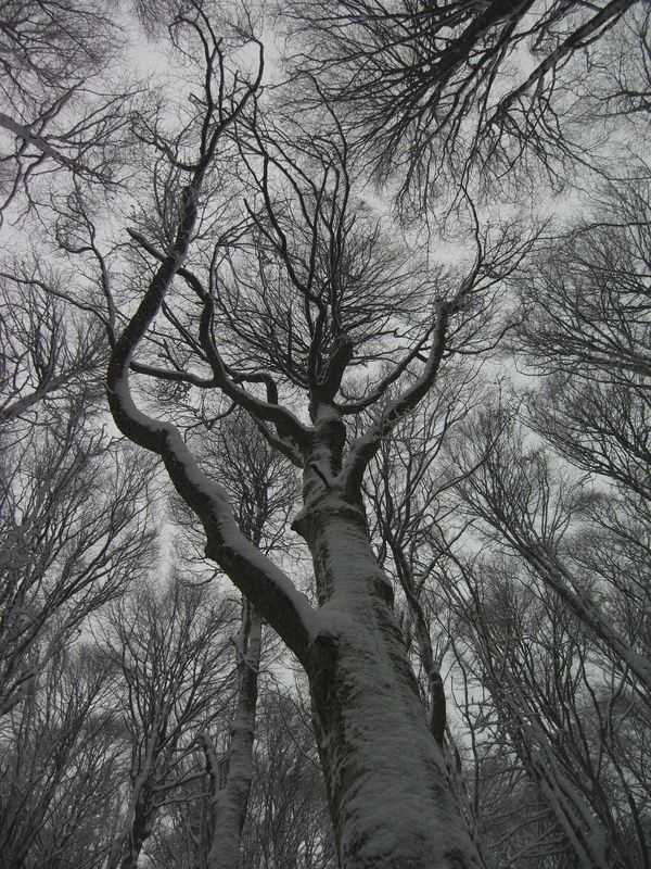 """Patriarch"" beech in Alpago during a snowstorm."