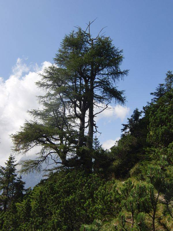 An old larch in summer