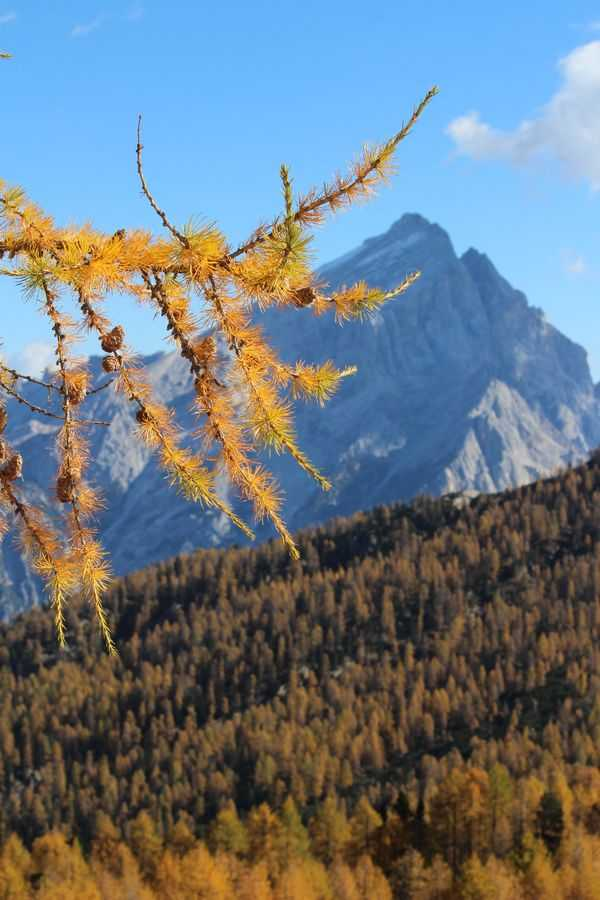 A golden branch of a larch in front of the piramid of Antelao.