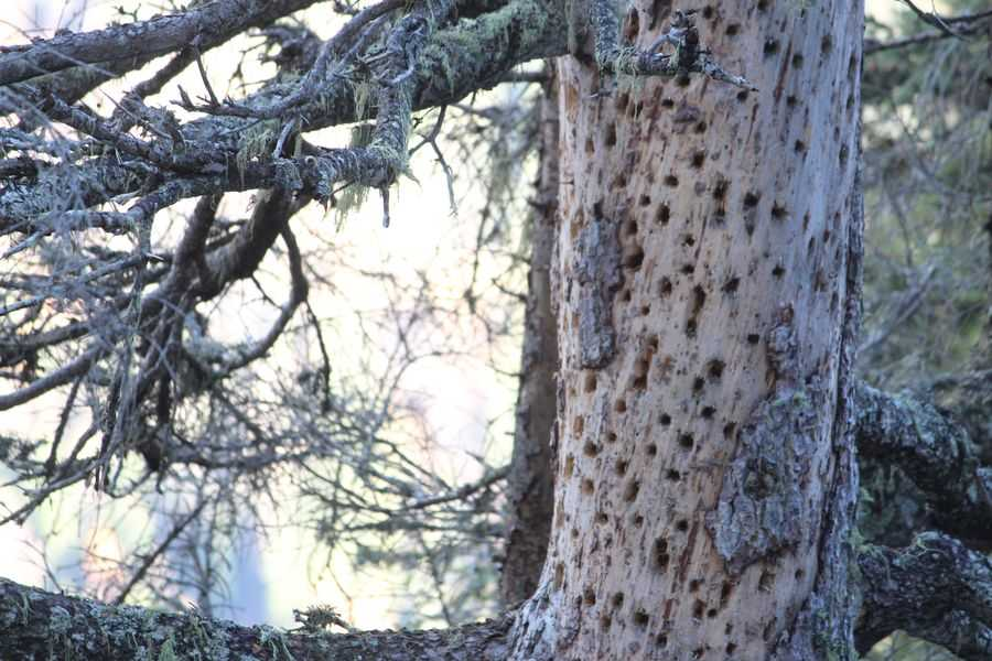 Spruce with many holes.