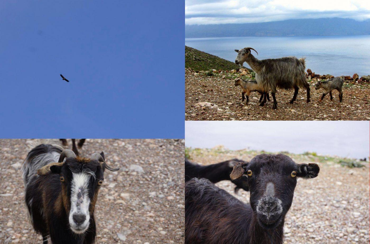 Animali di Creta